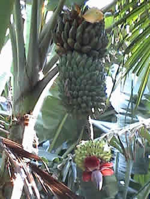 Satau pohon pisang berbuah bertingkat dan anehnya berbuah tiga jenis